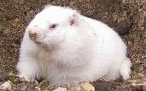 groundhog_day-wiarton-willie-2