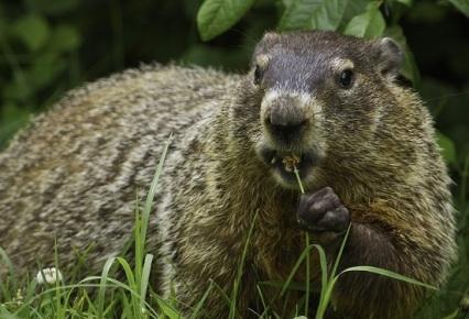 groundhog-956701_1920 (2)